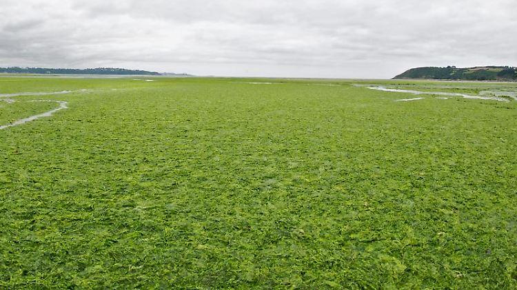 Algenpest in Frankreich im vergangenen Jahr: Auch in diesem Sommer werden die Wasserpflanzen an vielen Stränden der Bretagne wieder zum Problem.jpg
