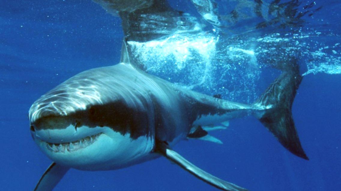 Geschlechtsreif Erst Mit 150 Gronlandhaie Werden Mehr Als 400 Jahre
