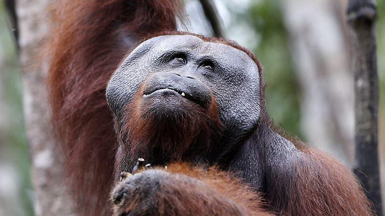 orang utan männchen