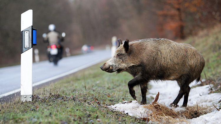 Wildschwein Tötet Mensch