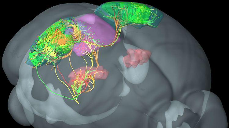 Achtung_Veröffentlichung nur redaktionell bei Nennung der Quelle «Allen Institute for Brain Science _zu dpa «Forscher erstellen Karten zur Entwicklung und Verdrahtung des Gehirns.jpg