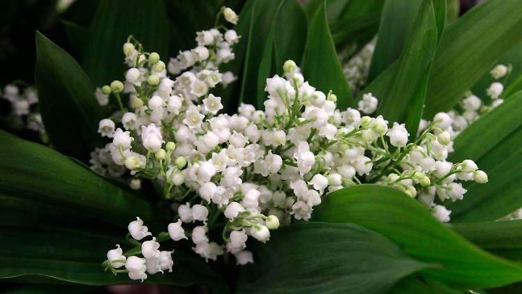 Lily of the valley_2.jpg
