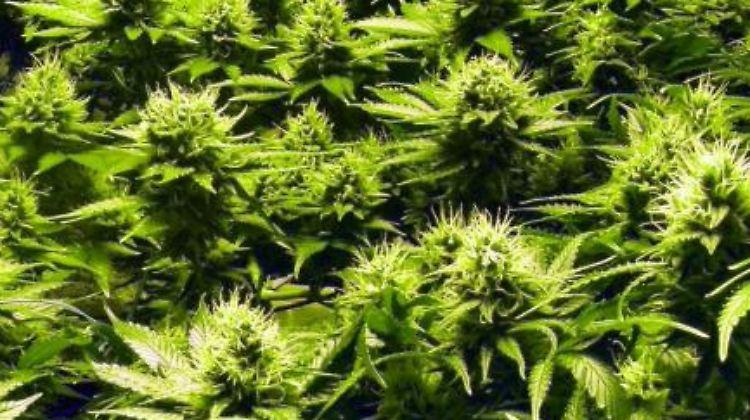Schön vorsichtig, bloß nichts verschwenden: Auf den neuen Cannabis-Touren in Colorado lernen Laien-Kiffer von den Profis. Foto:Heike Schmidt