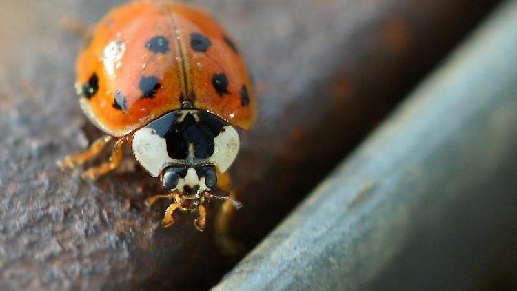 Ein asiatischer Marienkäfer - vielleicht auf dem Weg nach drinnen? Inzwischen ist der Ableger aus Fernost die zahlenmäßig größte Marienkäferart in Europa. Foto: Felix Kästle