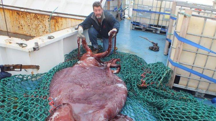 Größter Tintenfisch Der Welt