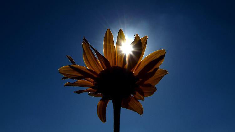 sonne sonnenblume.jpg