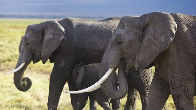 Der Afrikanische Elefant sieht sich vom Aussterben bedroht.
