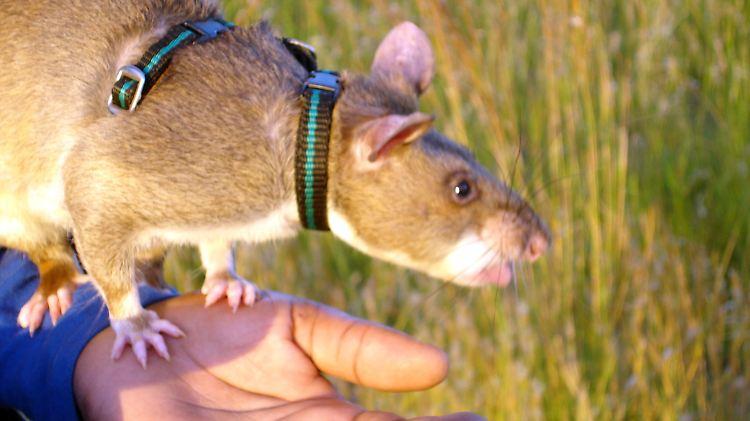 Ratten.jpg