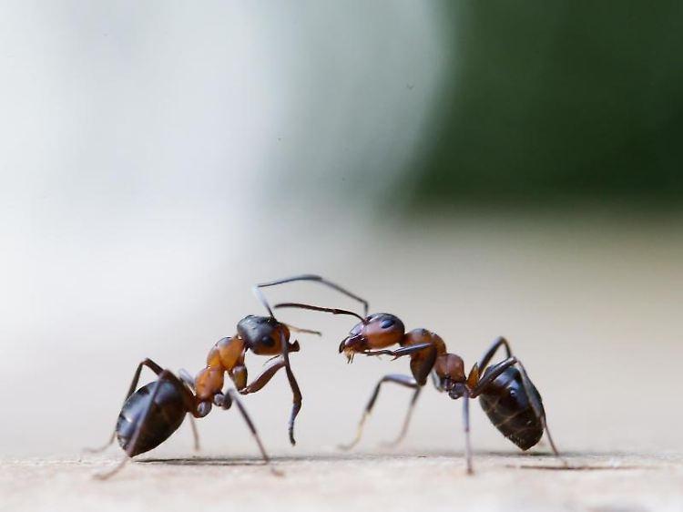 Kreide Thymian Und Zitrone Das Hilft Gegen Ameisen Im Haus N Tv De
