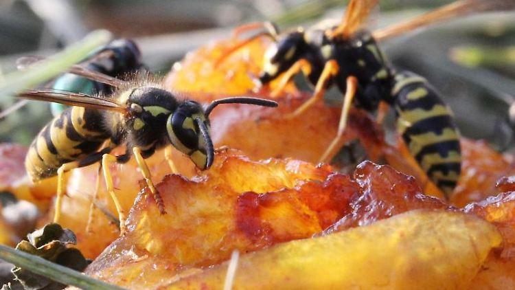 Zwei Wespen sitzen auf einer Mirabelle. «Man kann durchaus sagen, dass wir überall inDeutschland sehr viele Wespen haben», berichtet Julian Heiermann vom Naturschutzbund Nabu. Foto: Daniel Karmann/Archiv