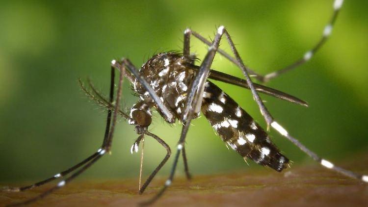 Die als Krankheitsüberträger gefürchtete Asiatische Tigermücke könnte hierzulande heimisch werden. Foto: James Gathany/Centers for Disease Control and Preventions