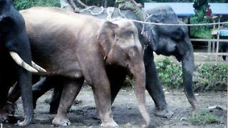 Myanmar_White_Elephant_MYN102.jpg5325928376761696758.jpg