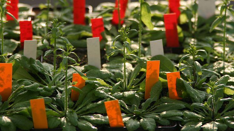 1024px-Arabidopsis-Pflanzen.jpg