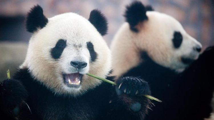 Große Pandas fressen in einer Panda-Aufzuchtstation in Chengdu in der chinesischen Provinz Sichuan.jpg