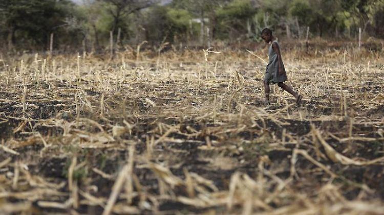 Vertrocknetes Maisfeld in Kenia: Dürren, Überschwemmungen und andere Wetterextreme schlagen weltweit Millionen Menschen in die Flucht. Foto: Dai Kurokawa/Illustration