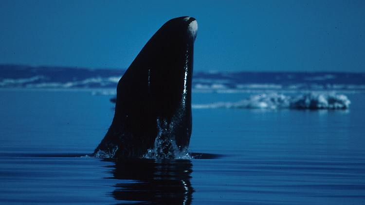 Groenlandwal.jpg