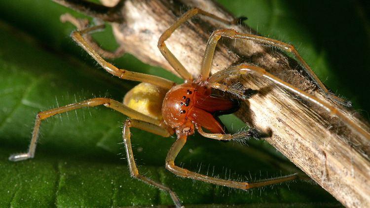 Die Ammen-Dornfinger-Spinne sieht gefährlicher aus als sie ist.