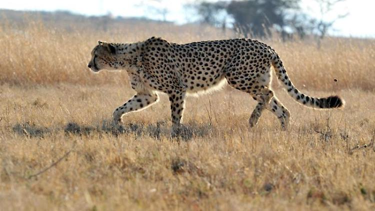 Die bisher eingerichteten Schutzzonen reichen nicht aus um die wenigen Geparden vor dem Aussterben zu bewahren.