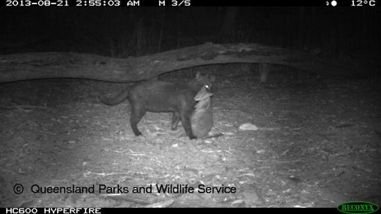 d410f51a6f4706 Katzen sind Plage in Australien  Streuner rotten heimische Arten aus ...