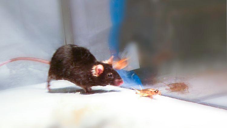 Fangen Und Toten Nach Lichtsignal Auf Knopfdruck Wird Maus