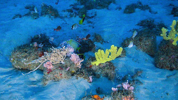 HANDOUT - Unterwasser-Aufnahme des Amazonas-Korallenriffs, das von einem U-Boot des Greenpeace-Schiffs MY Esperanza im Mündungsgebiet des Amazonas (Brasilien) gemacht wurde. Forscher sprechen vom «wichtigsten meeresbiologischen Fund» seit Jahrzehnten.