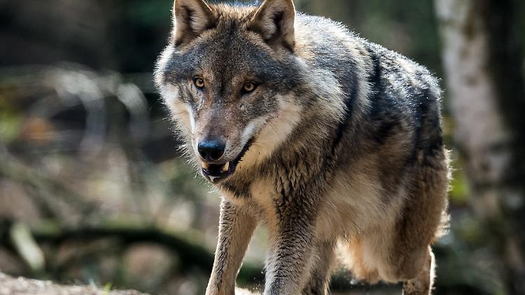 Seltene Paarung Mit Einem Hund Sechs Wolf Mischlinge Auf Der