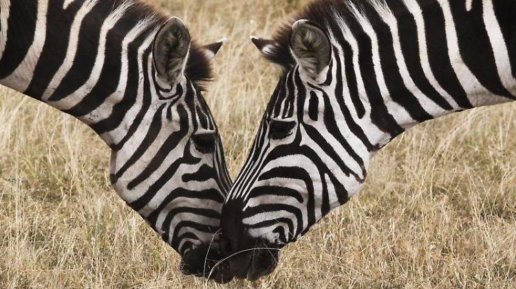 Zebras in Kenia.jpg