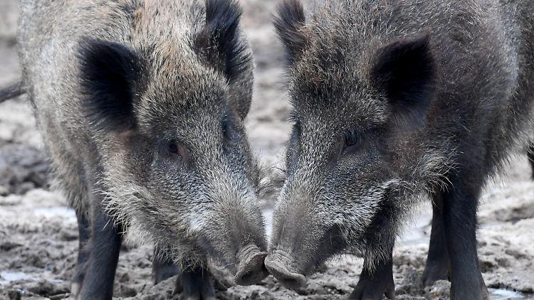 Grenzzaun Gegen Die Schweinpest Danemark Rustet Gegen Wildschweine