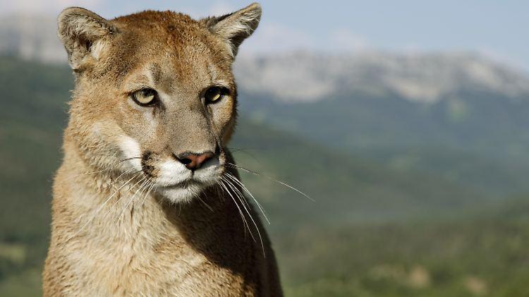 Attacke nahe Seattle: Puma tötet Mountainbiker in den USA