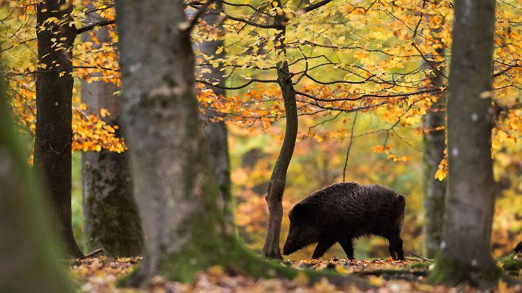 Umstrittene Schutzmassnahme Danemark Baut Grenzzaun Fur Schweine N