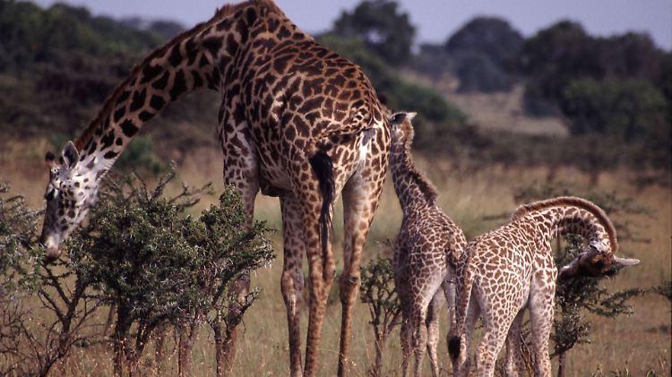 1920px-Giraffe_Family.jpg