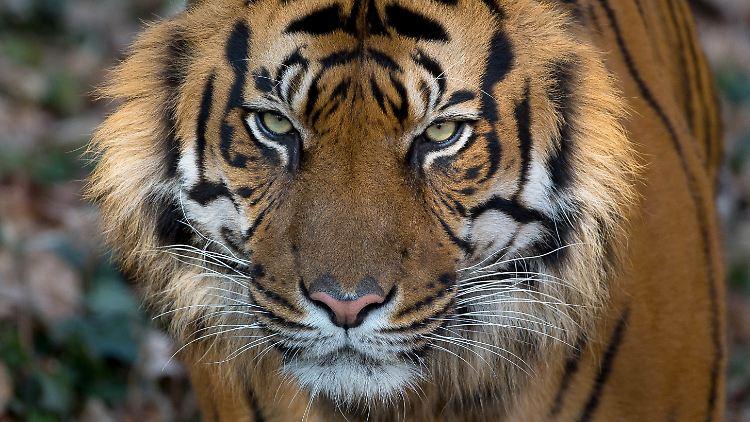 Aufregung Auf Sumatra Seltener Tiger Alarmiert Militärs N Tvde