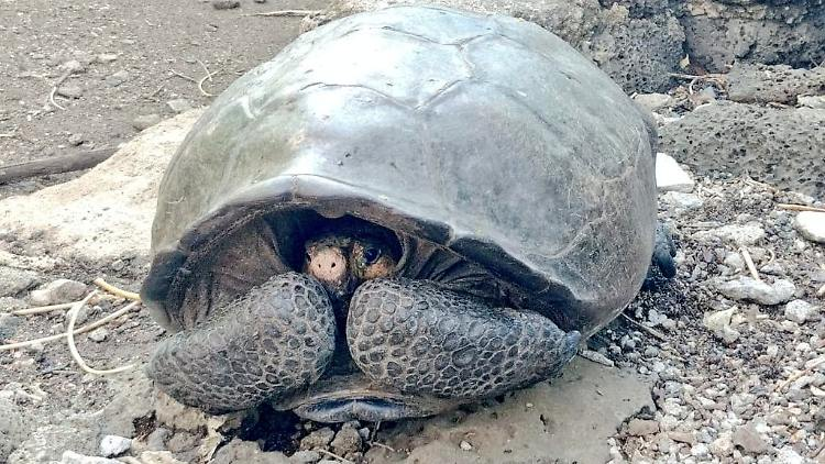Expedition: Ausgestorben geglaubte Riesenschildkröte auf Pazifikinsel entdeckt