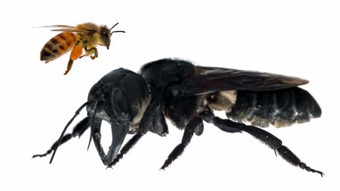 Riesenbiene.jpg