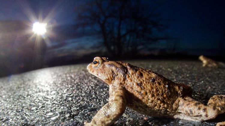 Über eine Landstraße krabbelt eine Kröte. Die Krötenwanderung beginnt. Foto: Patrick Pleul/Archiv