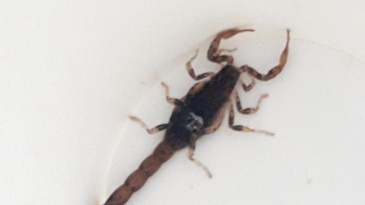 Ein Skorpion, aufgenommen von der Polizei. Foto: Bundespolizei Stuttgart/Archiv