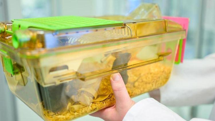 Eine Mitarbeiterin hält einen Behälter mit Mäusen in einem Labor des Deutschen Krebsforschungszentrums. Foto: Uwe Anspach/Archiv