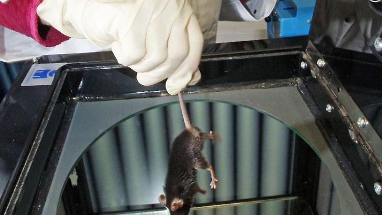In einem Labor wird eine Labormaus für einen Versuch vorbereitet. Foto: Jan-Peter Kasper/Archivbild