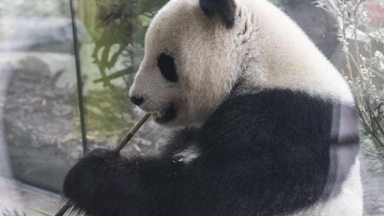 Panda-Weibchen Meng-Meng knabbert in einem Gehege an einem Bambuszweig. Foto: Paul Zinken
