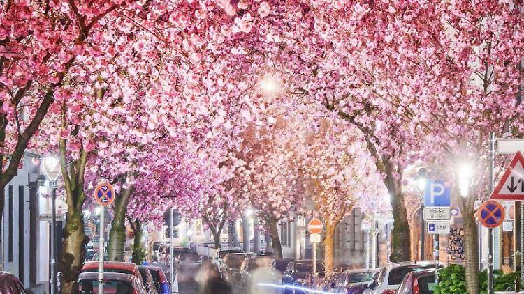 Die Kirschbäume auf der Heerstraße in Bonn blühen. Foto: Volker Lannert/Archivbild