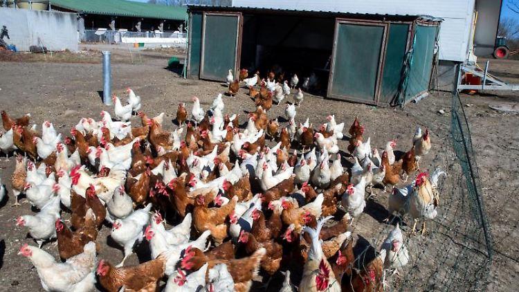 Hühner laufen aus einem mobilen Hühnerstall heraus. Foto: Jens Büttner/Archivbild