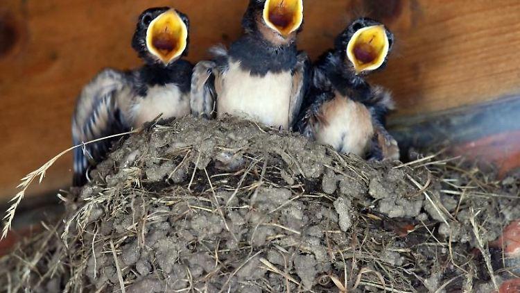 Drei junge Schwalben verlangen nach Futter. Foto: Rainer Jensen/Archivbild