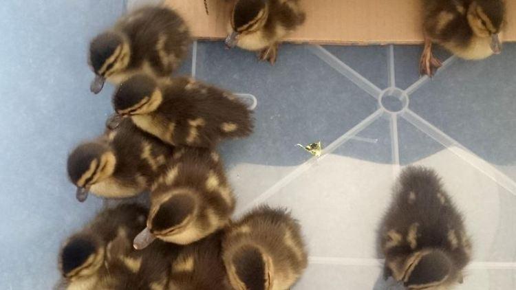 Die geretteten Entenküken sitzen in einer Box.Foto:Bundespolizei Sankt Augustin