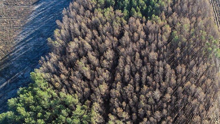 Deutlich sichtbar sind verbrannte und noch grüne Kiefern eines Waldes nahe der Bundesstraße 102 in Treuenbrietzen. Foto: Archivbild