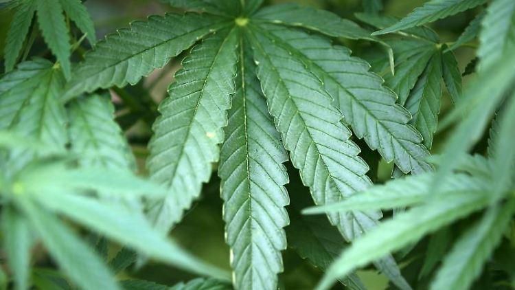 Hanf-Pflanzen (Cannabis) wachsen in einem Garten. Foto: Oliver Berg/Archivbild