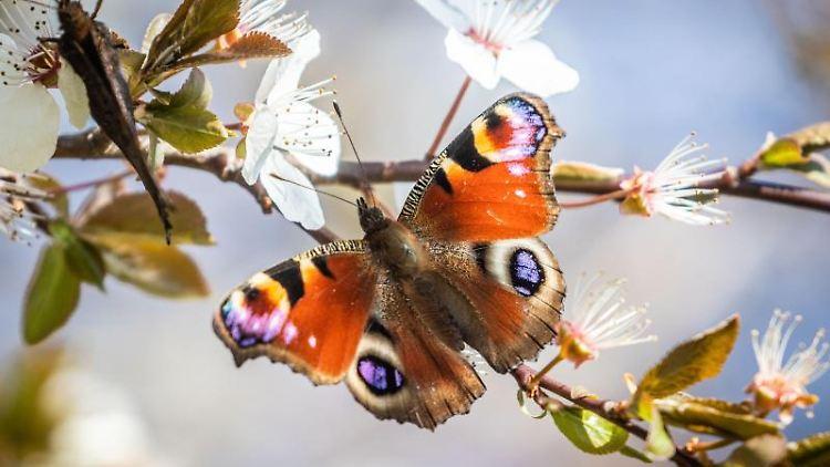Hessen: Naturschützer: Schmetterling-Schwund Schreitet