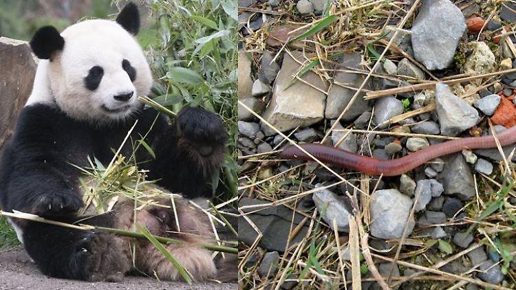 Pandawurm.JPG