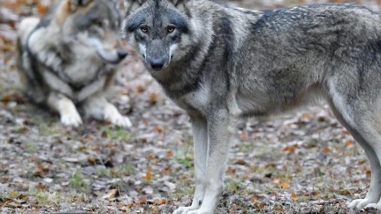 Zwei Wölfe sind zu sehen. Foto:Patrick Pleul/Archivbild