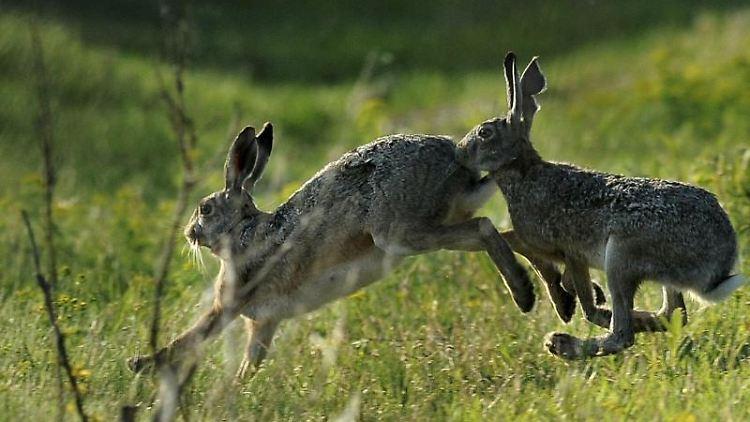 Zwei Hasen hoppeln auf einer Wiese. Foto: Attila Kovacs/MTI/Archivbild