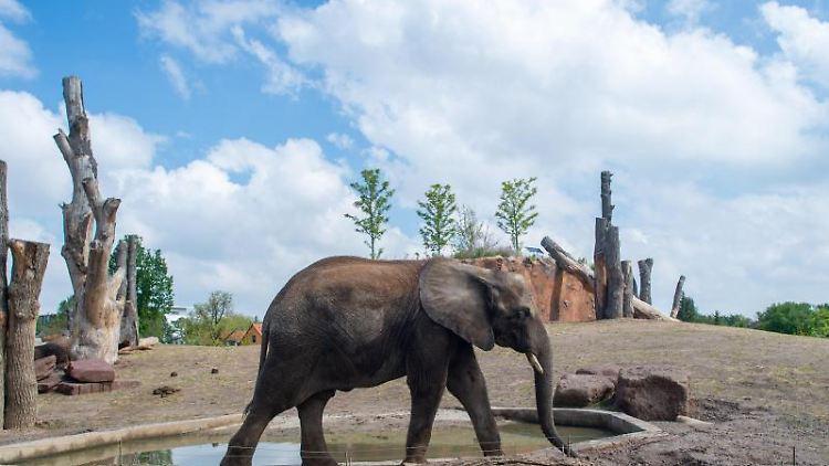 Ein Afrikanischer Elefant geht im Magdeburger Zoo durch sein Freigehege. Foto: Klaus-Dietmar Gabbert